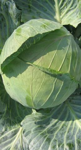 Семена Капуста белокочанная Колобок F1, 30 сем