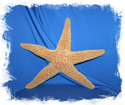 Мексиканская морская звезда 25-30 см.