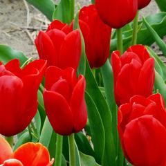 Луковицы Тюльпана Простой поздний Кингсблад