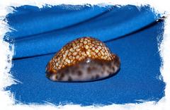 Ципрея макулифера (Mauritia maculifera)