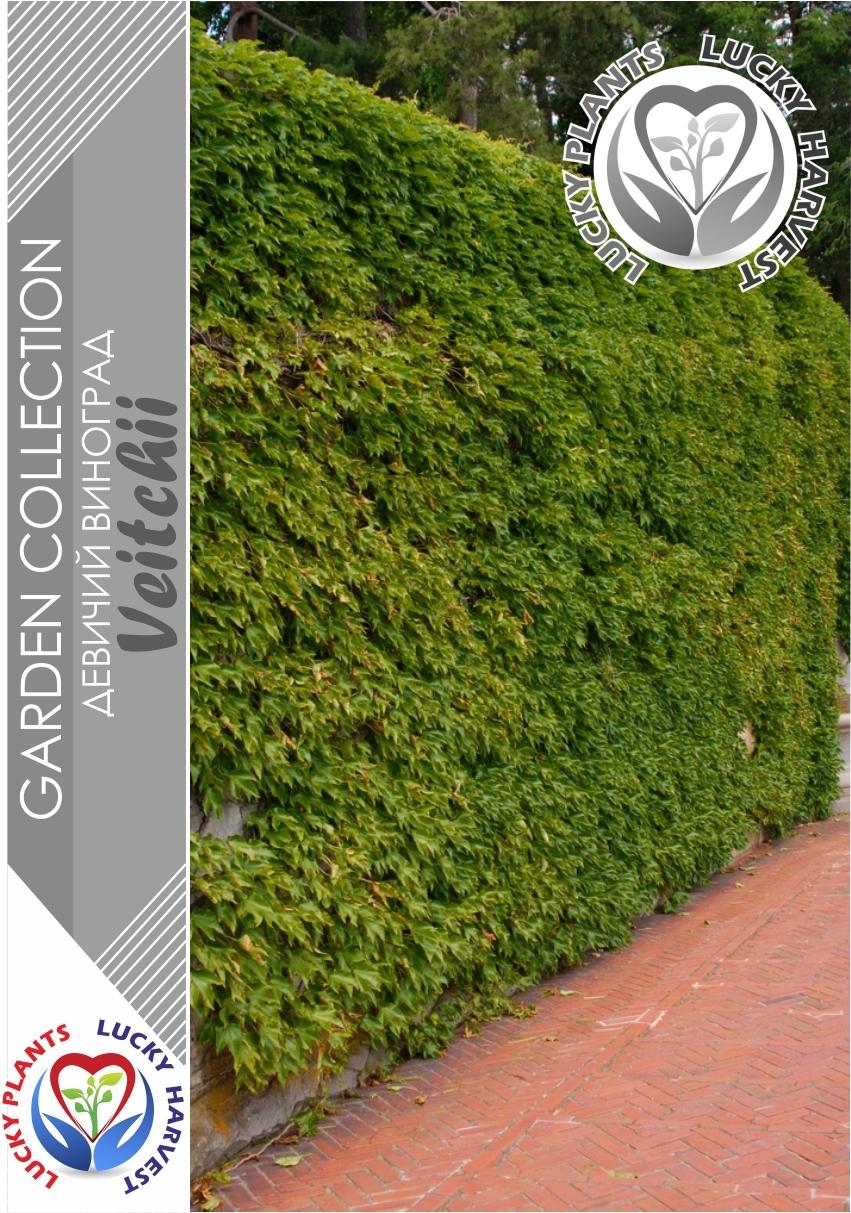 Виноград девичий триостренный (Вичи) (Parthenocissus Tricuspidata 'Veitchii') ТМ LUCKY HARVEST