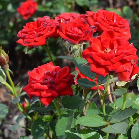 Роза миниатюрная Алая
