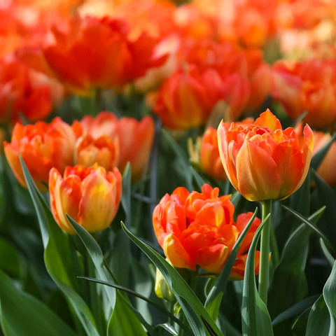 Тюльпан махровый ранний Монте Оранж