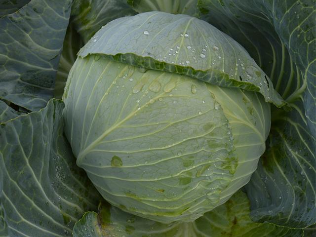 Белокочанная Аланек F1 семена капусты белокочанной (Enza Zaden / Энза Заден) alanek.jpeg