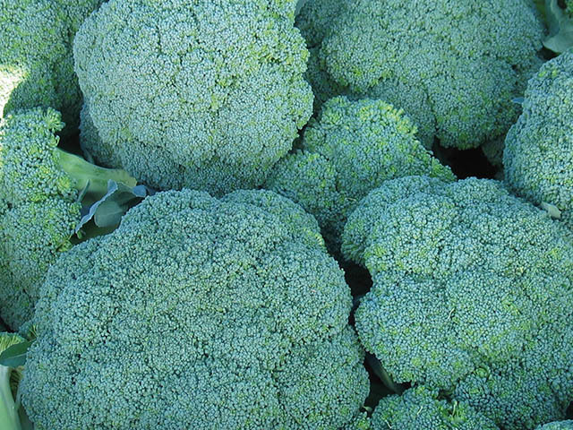 Брокколи Корато F1 семена капусты брокколи (Enza Zaden / Энза Заден) corato.jpeg