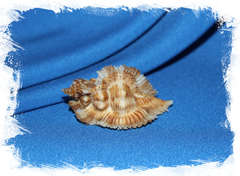 Мурекс Мийоки (Pterynotus miyokoae) 6 см.