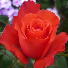 Роза чайно-гибридная Голд Перл