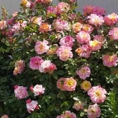 Роза флорибунда Мишель Серро