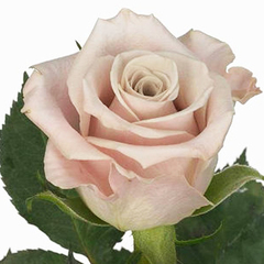 Роза чайно-гибридная Мента