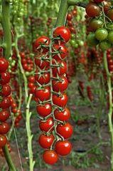 Алигриция F1 семена томата индетерминантного (Vilmorin / Вильморин)