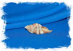 Раковина Chicoreus triqueter