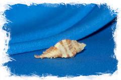 Ракушка Naquetia triquetra