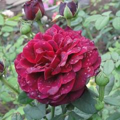 Роза парковая Фишерман френд