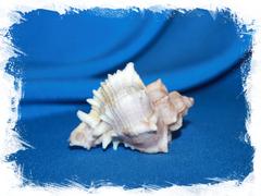 Мурекс кустерианус (Hexaplex kusterianus)