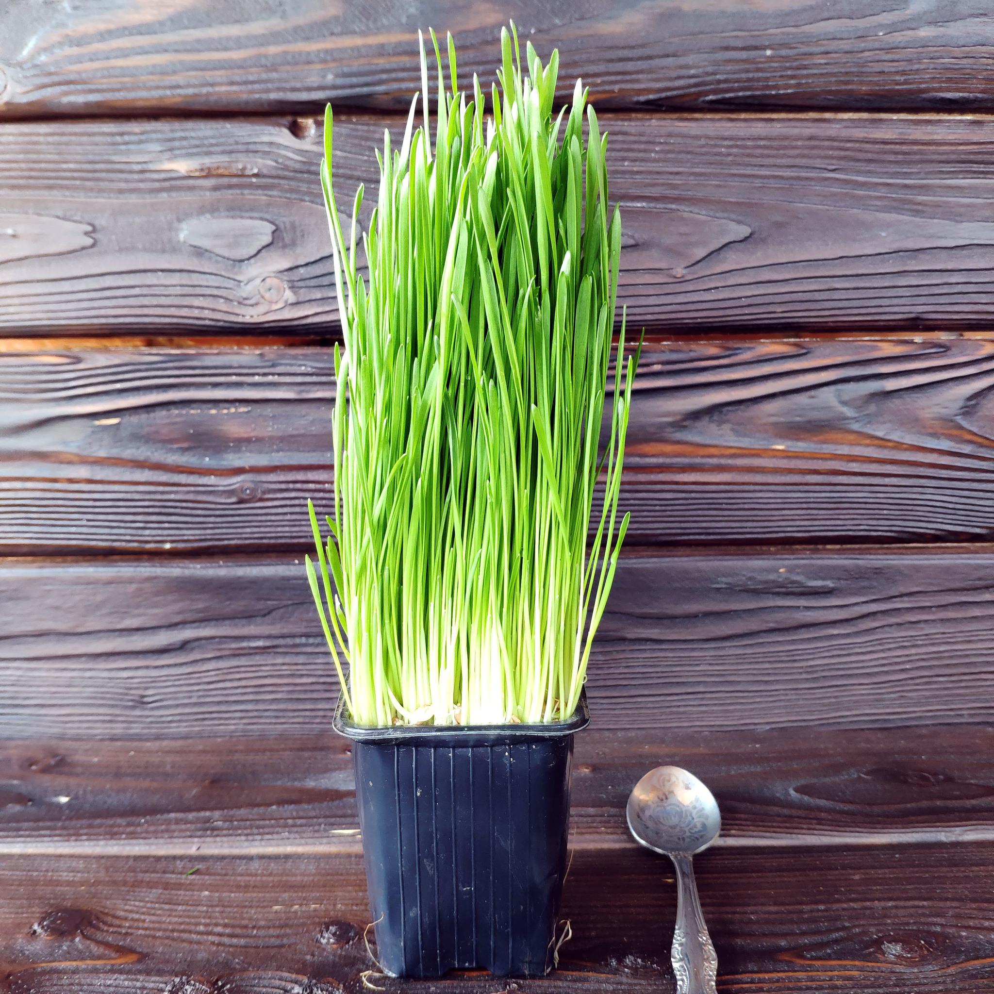 Фотография Ростки пшеницы (витграс) на корне / 100 гр купить в магазине Афлора