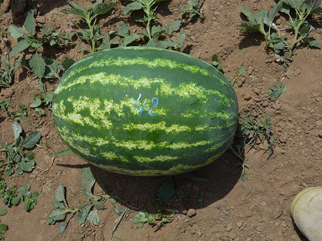 Арбуз E-42 F1 семена арбуза (Takii / Таки) e_42_семена_овощей_оптом.jpeg