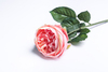 Персиковая роза.