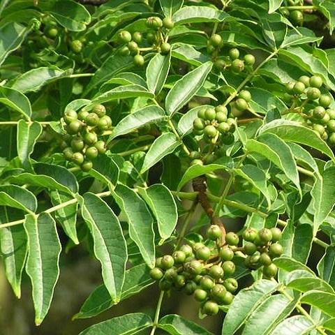 плоды и листья бархат амурский