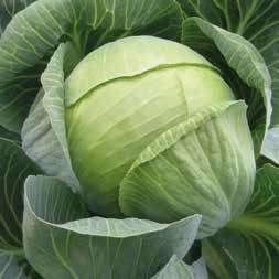 Белокочанная Гилсон F1 семена капусты белокочанной (Hazera / Хазера) Гилсон_F1.jpg