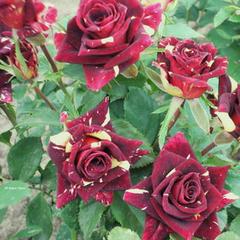 Роза флорибунда Фокус Покус