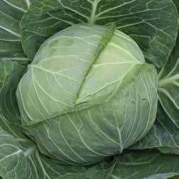 Белокочанная Эмили F1 семена капусты белокочанной (Hazera / Хазера) Эмили_F1.jpg
