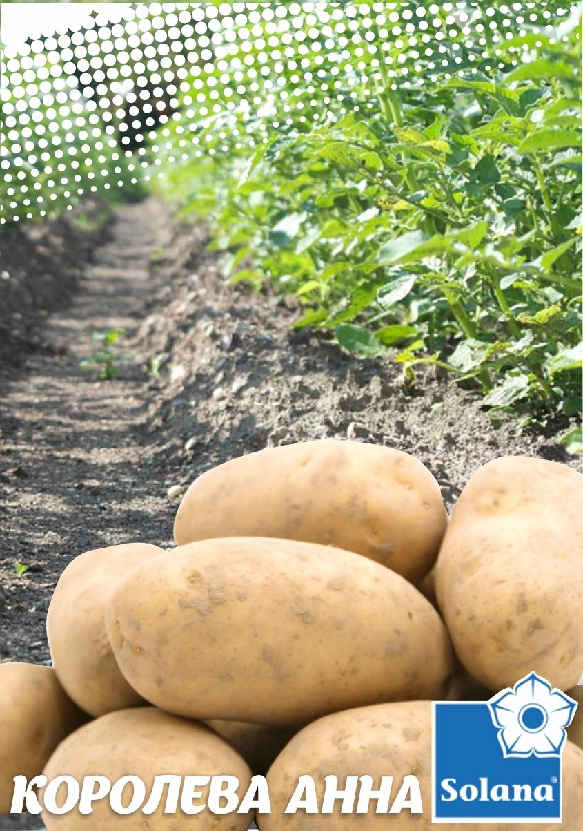 Семенной картофель   КОРОЛЕВА АННА   ТМ SOLANO  (Германия)