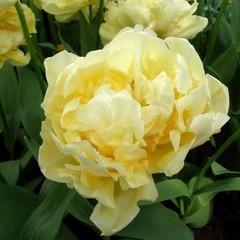 Тюльпан махровый ранний Верона