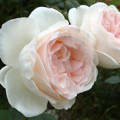 Роза чайно-гибридная Себастьян Кнейп