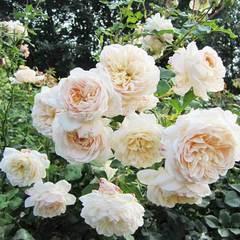 Купить Роза английская Личфилд Энджел