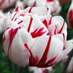 Тюльпан махровый позднийКарнавал де Найс