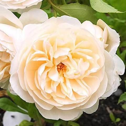 Роза английская Личфилд Энджел Северный огород