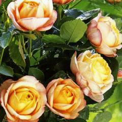 Роза миниатюрная Беби Романтика