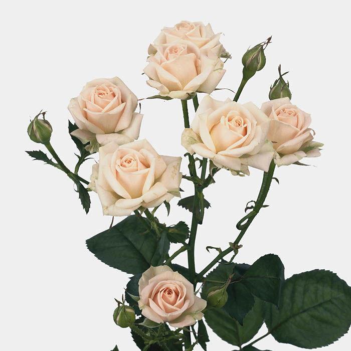 Розы кустовые кремовые от 7шт