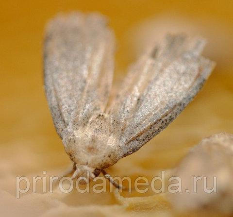 Бабочка большой восковой моли