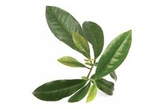 Чайное дерево Melaleuca alternifolia, 10 мл