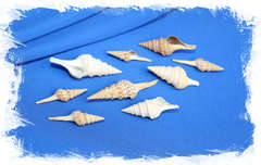 Декоративные морские ракушки купить