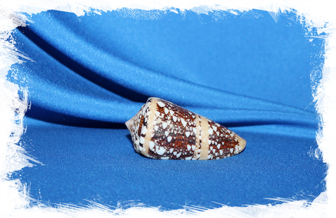 Конус аммиралис (Conus ammiralis)