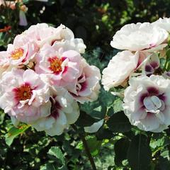 Роза флорибунда Айс фо Ю