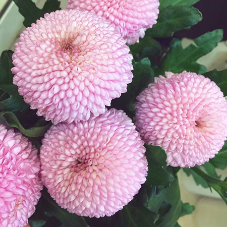 Купить розовые помпон шар хризантемы Момоко в Перми