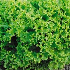 Марадон семена салата листового (Vilmorin / Вильморин)