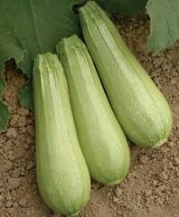 Иоланта F1 семена кабачка (Seminis / Семинис)