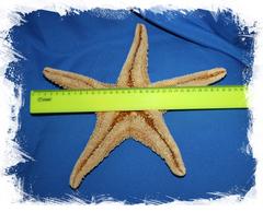 Большая морская звезда