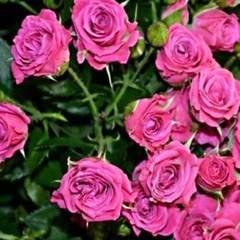 Роза миниатюрная Орион Северный огород