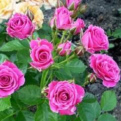 Роза миниатюрная Орион СевОгород