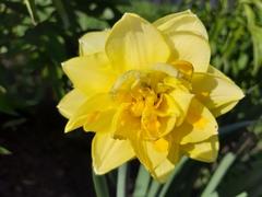 Нарцисс махровый Голден Дукат