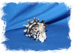Океаническая раковина Вазум Керамикум, Vasum ceramicum