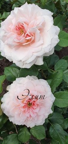 Майра бридл пинк(Mayra's Bridal Pink's)