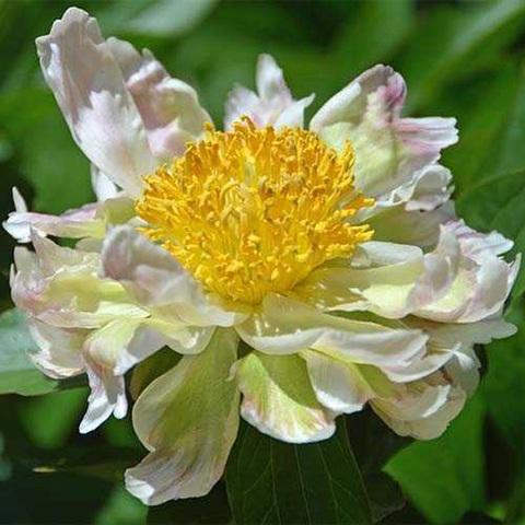Пион Green Lotus