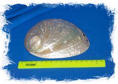 Галиотис лаевигата, Haliotis laevigata размер