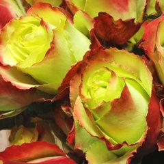 Роза чайно-гибридная Zazu